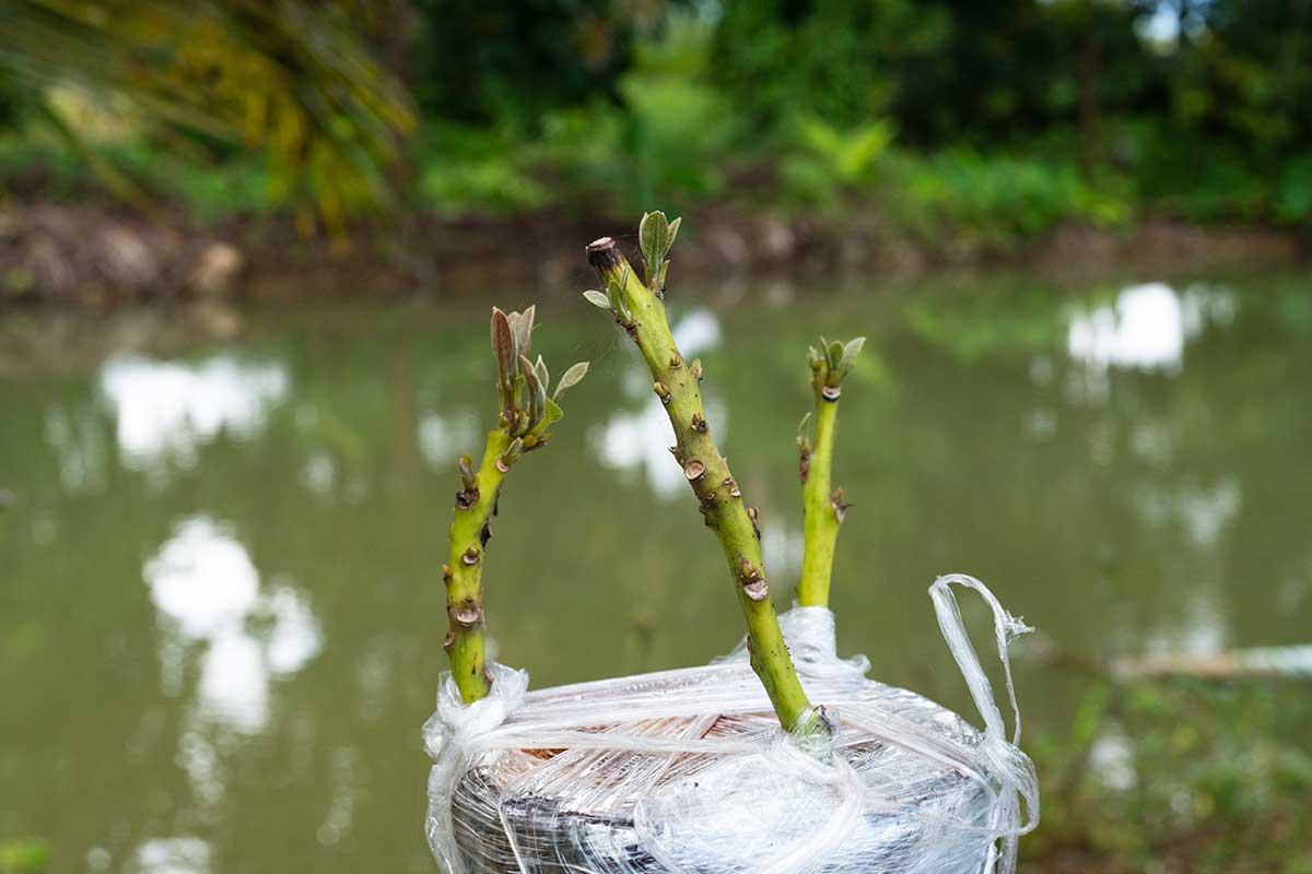 Veredelter Ast eines Avocado-Baumes