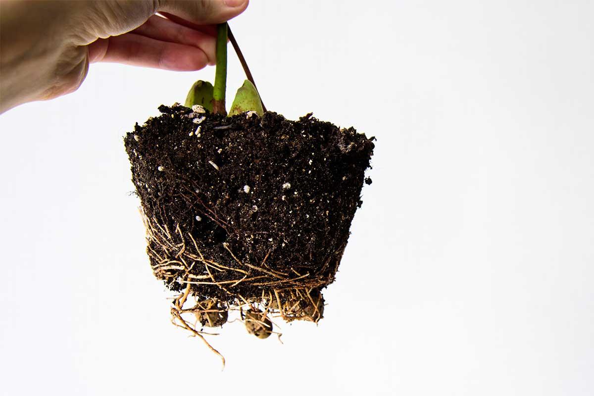 Wurzelballen einer Avocado-Pflanze