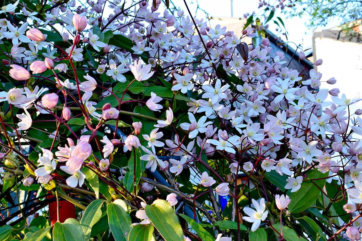 Clematis Armandii mit weißen Blüten