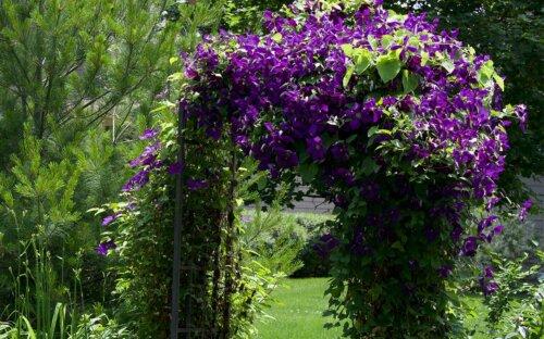 Clematis – Tipps zum Schneiden  Pflanzen & Kaufen + Infos zu Pflege  Sorten & Arten