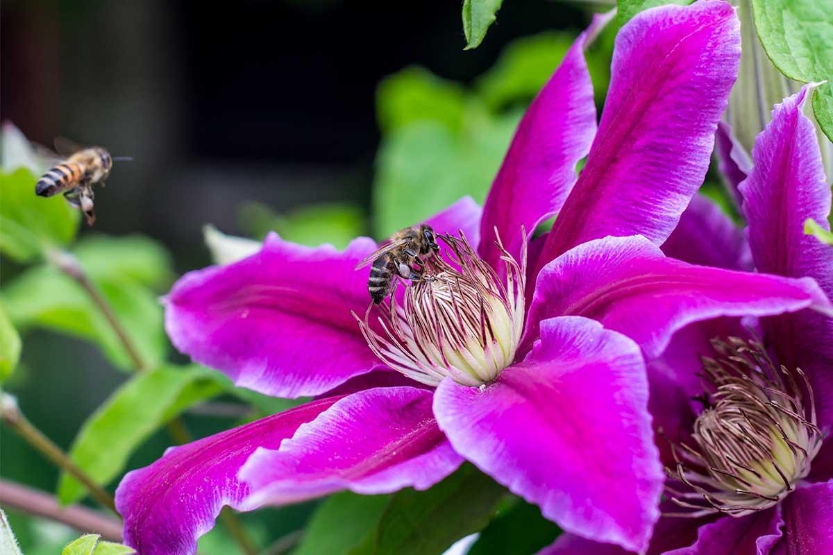Bienen auf Clematis-Blüte