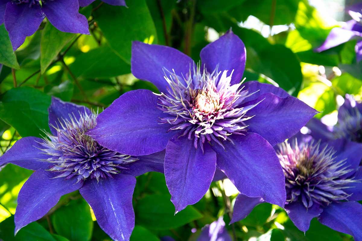 Blaue Clematis-Blüten