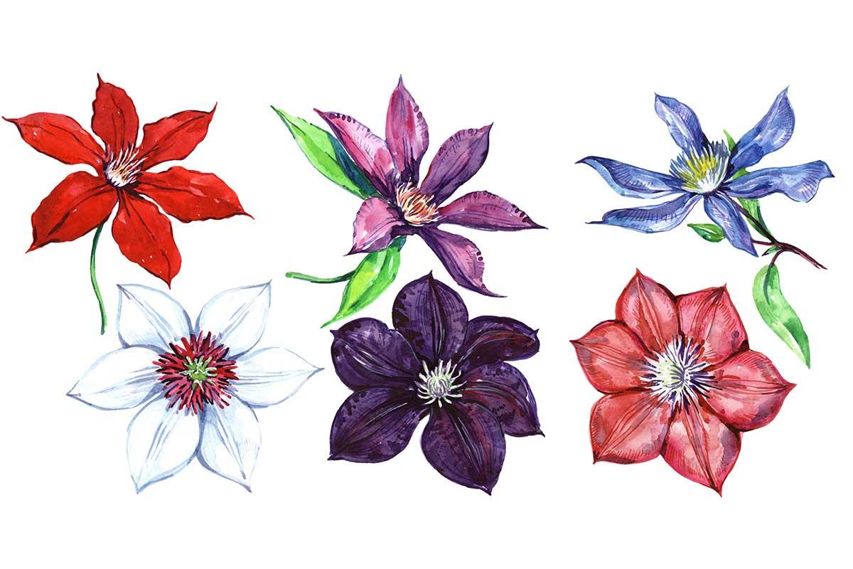 Aquarell verschiedener Clematis-Blüten