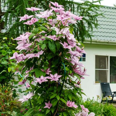 Große Clematis im Garten