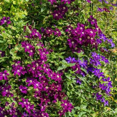 Clematis im Gartenbeet