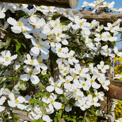 Weiße Clematis auf einer Holzpergola