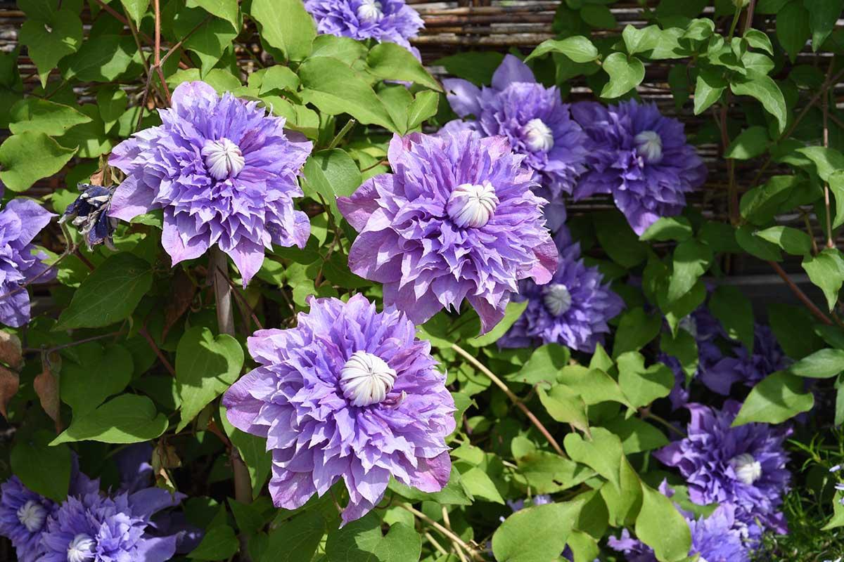 Clematis Hybrid Blüte violett