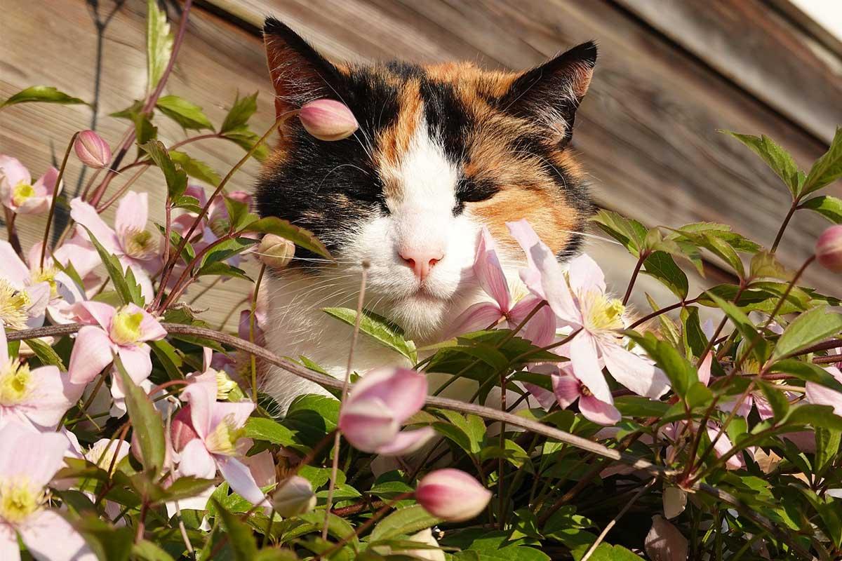 Katze mit Clematis