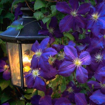 Violette Waldrebe mit Gartenlampe