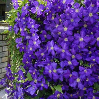 Schmückende Clematis an einer Gartenmauer
