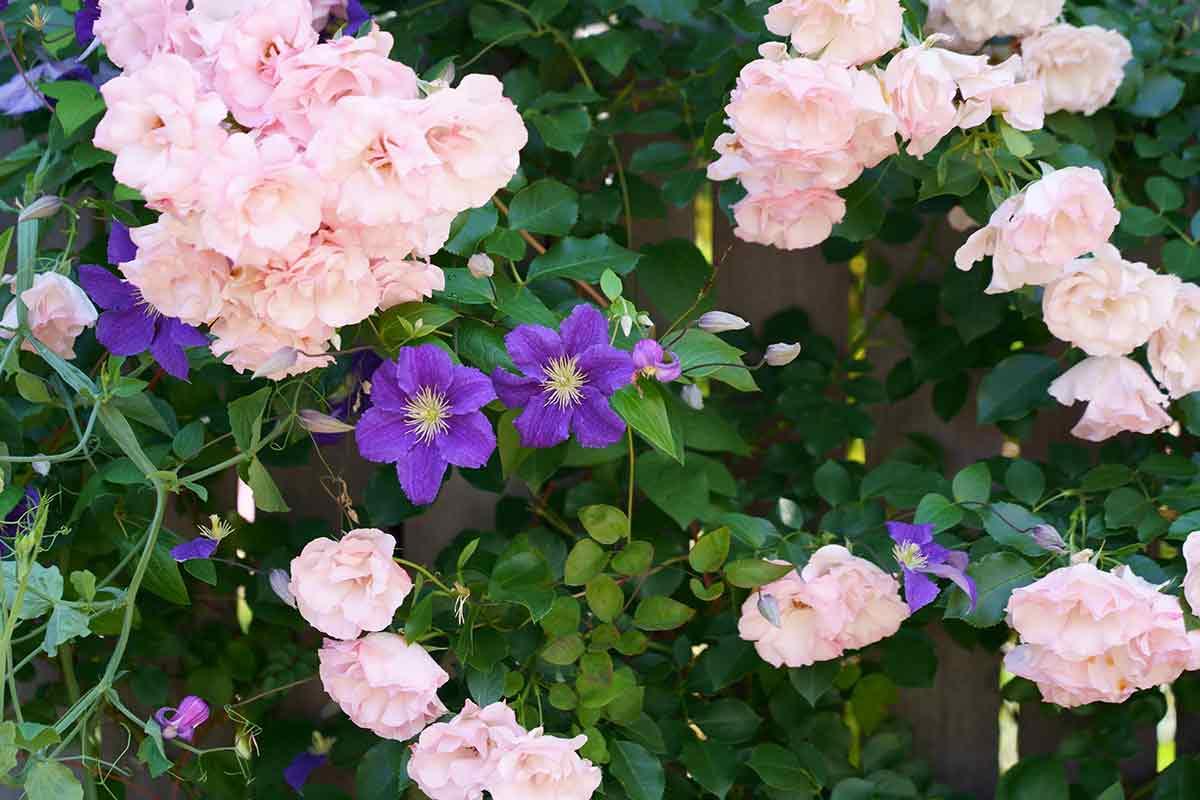 Lila Clematis mit Rosen