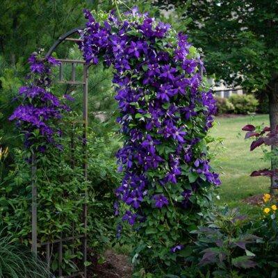 Rosenbogen überwachsen mit lila Clematis
