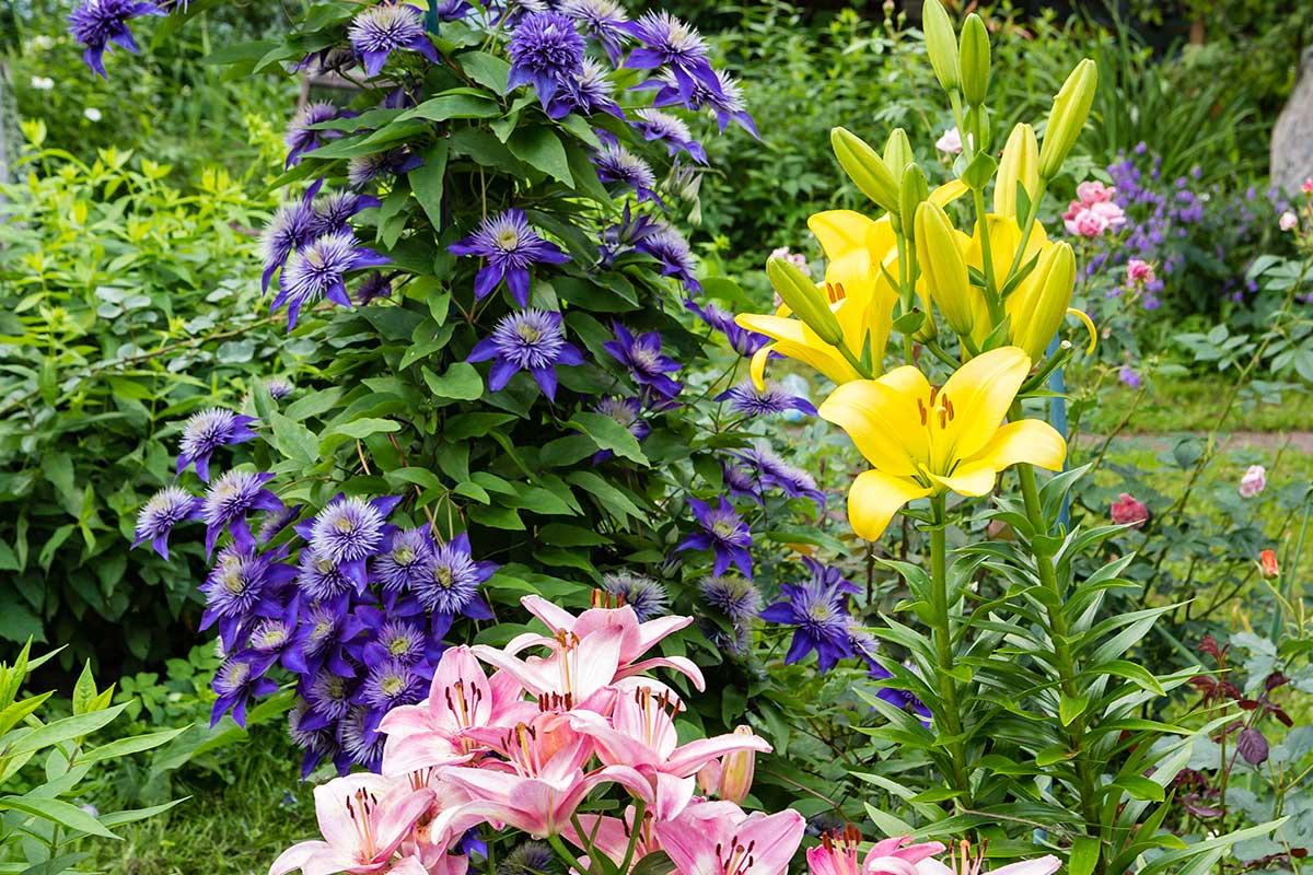 Clematis mit bunten Blumen