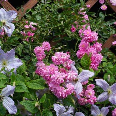Clematis und pinke Rosen