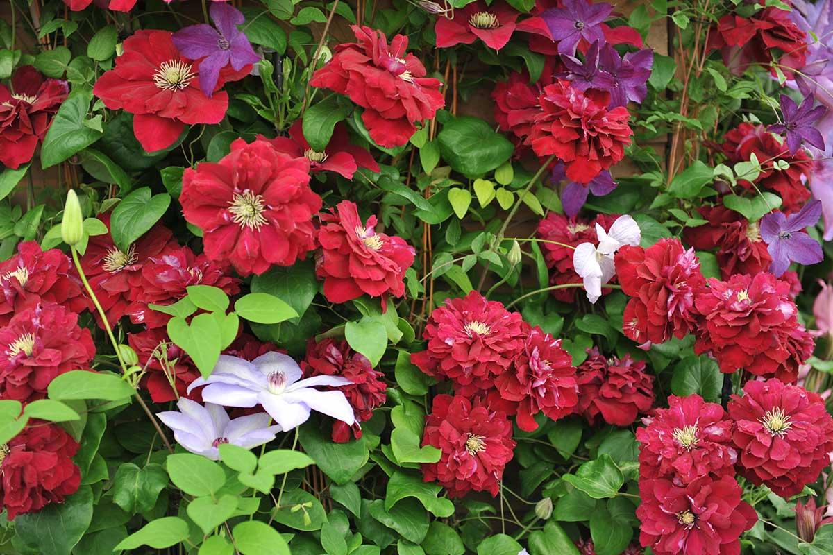 Rote Clematis-Blüten