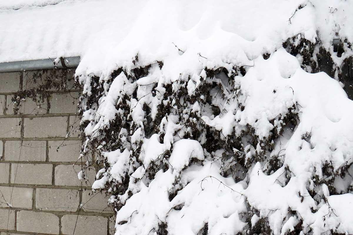 Schneebedeckte Clematis-Pflanze