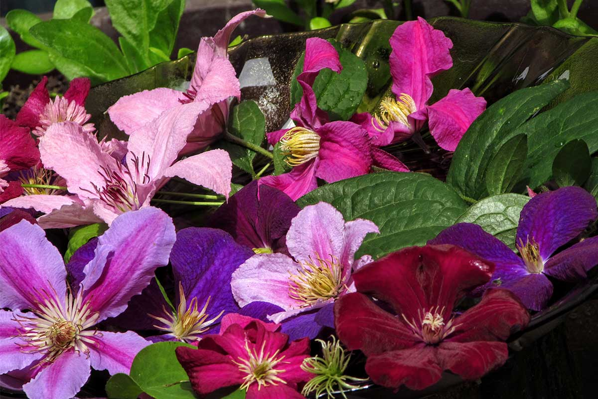 Verschiedene Clematis-Blüten