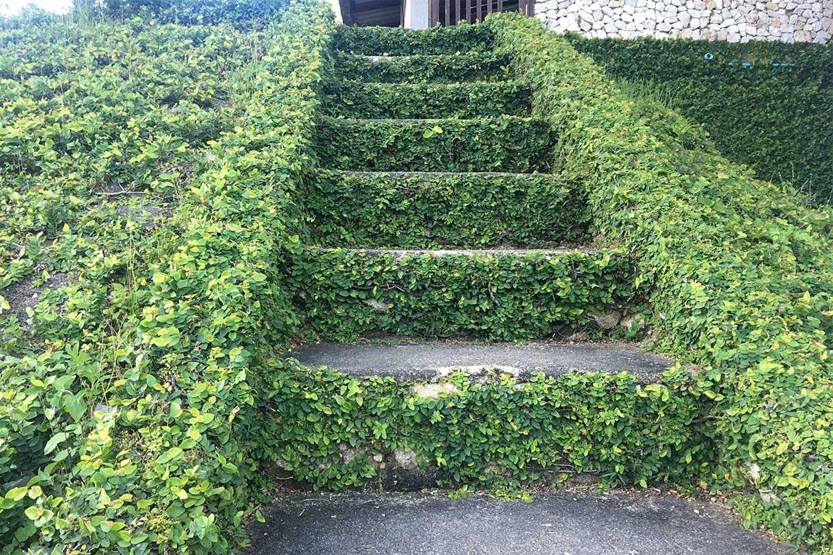 Clematis als Bodendecker an Treppe