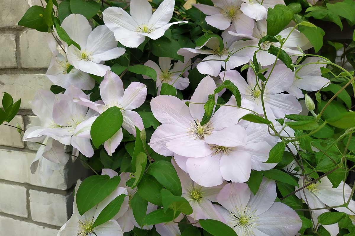 Weiße Clematis-Blüten