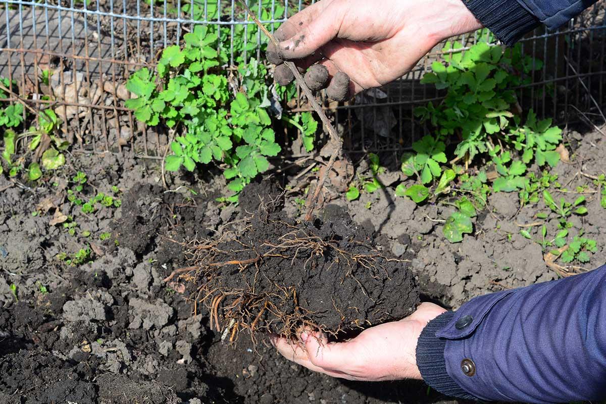 Hände pflanzen Clematis ein